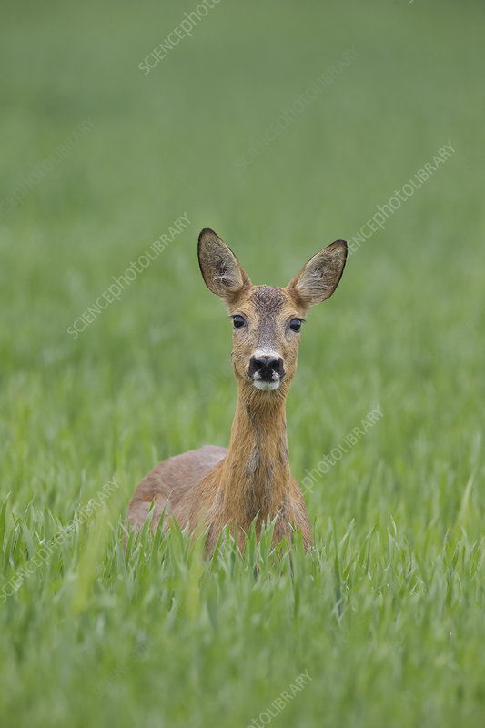 Female Roe deer standing in a wheat field, Norway