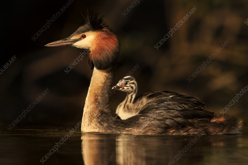Great crested grebe with young chick on back, Cardiff, UK