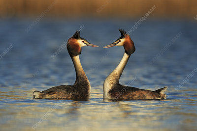 Great crested grebe courtship dance, Cardiff, UK