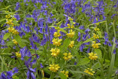 Yellow archangel and Bluebells in flower in woodland