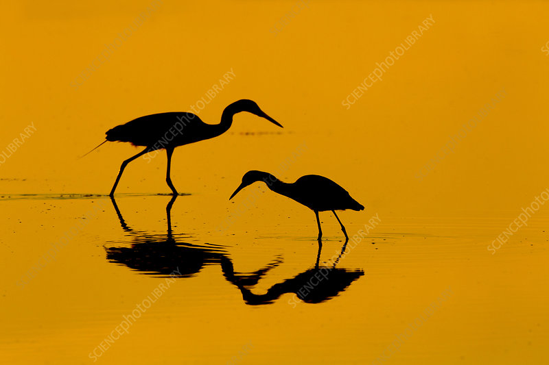 Little blue heron and Great egret in lagoon at sunrise