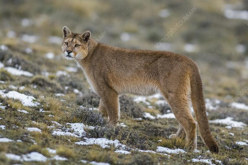 Puma in high altitude habitat