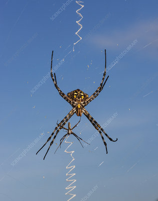Golden Orb web spider female with smaller male