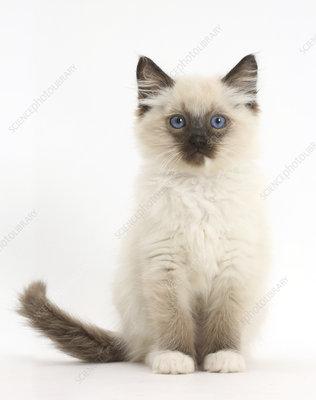 Ragdoll kitten sitting