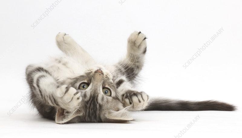 Silver tabby kitten lying on his back