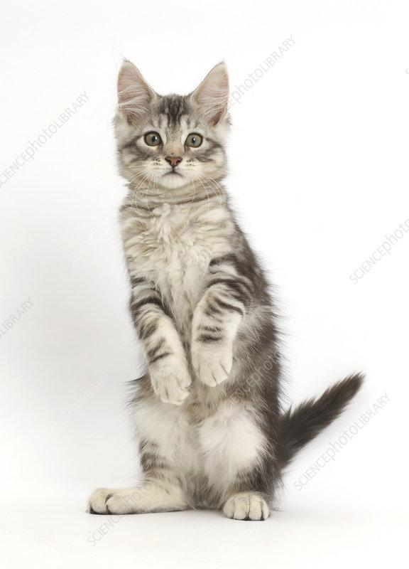 Silver tabby kitten standing on hind legs