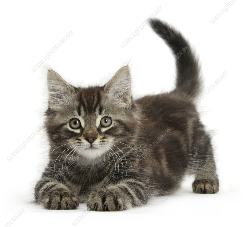 Tabby kitten, Squidge in playful bow