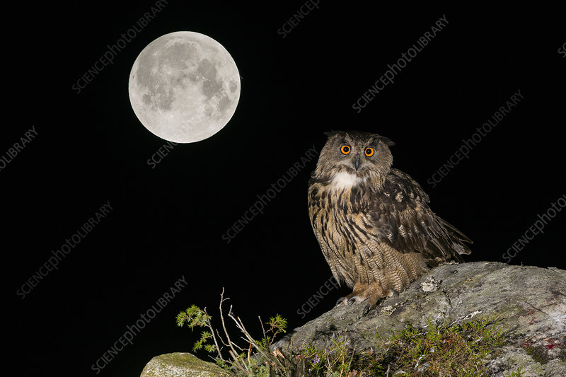 Eurasian Eagle owl adult perched on rocky outcrop