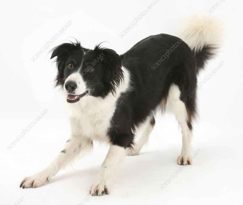 Border collie in play bow