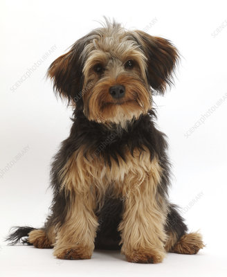 Yorkipoo dog, Yorkshire terrier cross Poodle