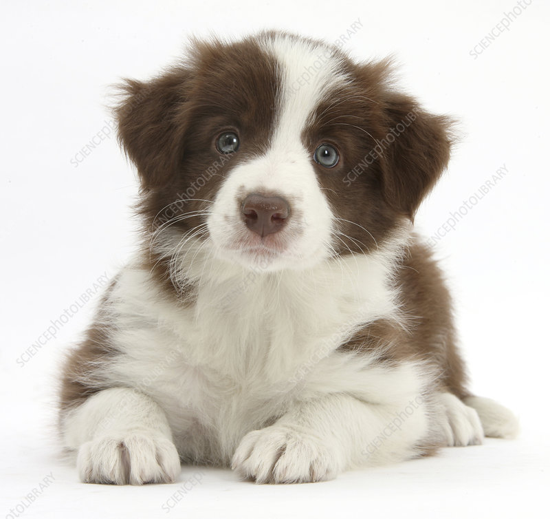 Chocolate Border collie puppy