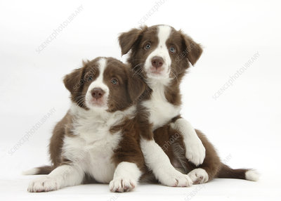 Chocolate Border collie puppies