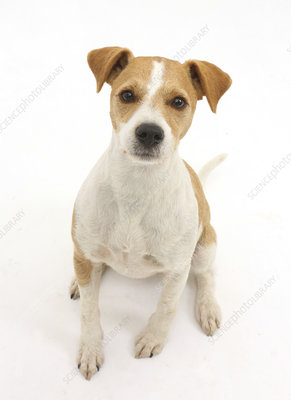 Jack Russell Terrier sitting and looking up