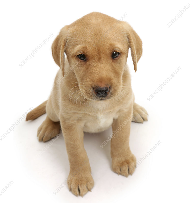 Yellow Labrador puppy sitting and looking up