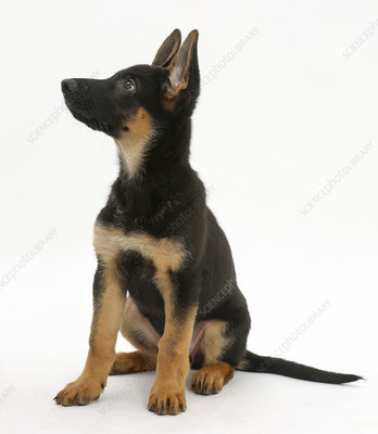 German Shepherd Dog puppy looking up