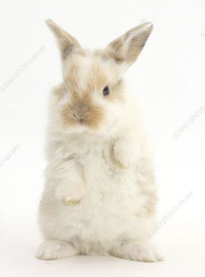Young rabbit with paws up