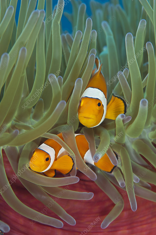 Western clownfish in Magnificent sea anemone