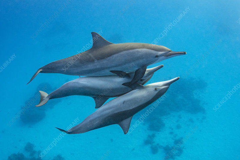 Spinner dolphins mating