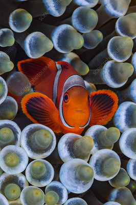 Spinecheek anemonefish in host Bubble-tip anemone