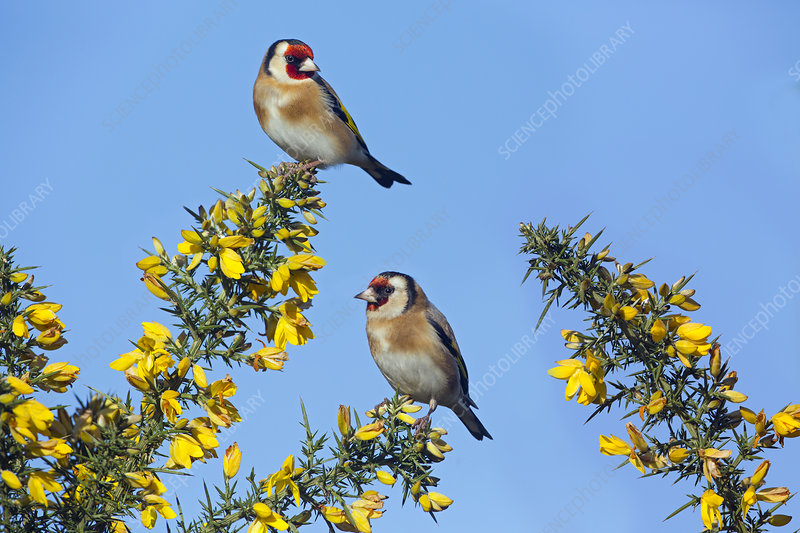 Goldfinches pair in winter flowering gorse, UK