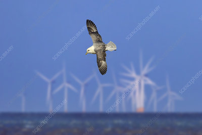 Northern fulmar in flight over sea with offshore wind farm