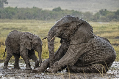African Elephant mother and calf in mud wallow in rain