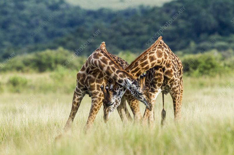 Masai giraffe males fighting, Masai-Mara Game Reserve, Kenya