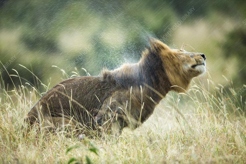 Lion male in rain, shaking head
