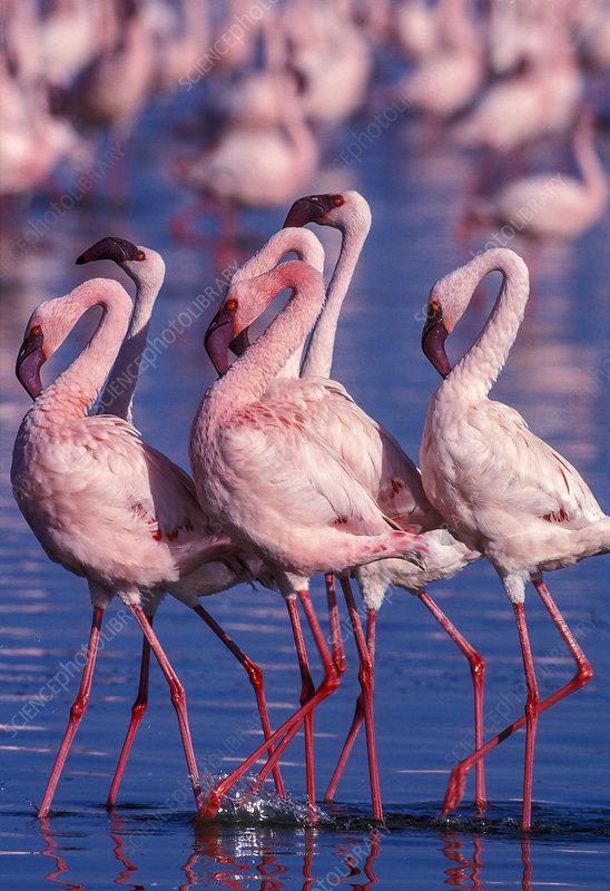Lesser flamingo males displaying, Lake Nakuru, Kenya