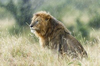 Lion male in rain, Masai-Mara Game Reserve, Kenya