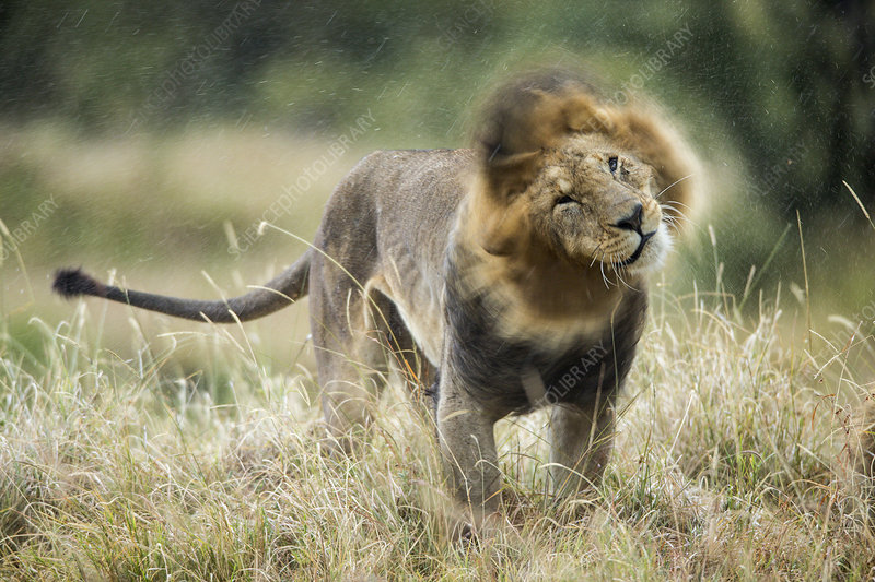 Lion male in rain, shaking head