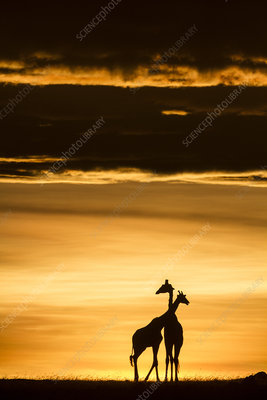 Masai giraffe pair at sunrise