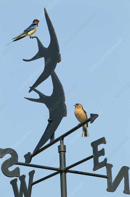 Swallow adult and Chaffinch perched on Weather Vane
