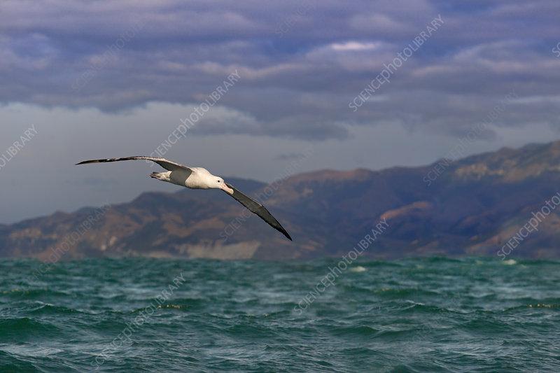 Wandering albatross in flight, Kaikoura, New Zealand