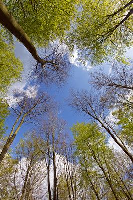 View up to Beech woodland (Fagus sylvatica) canopy, UK