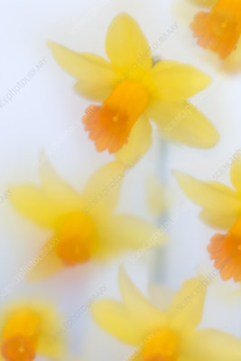 Daffodils (Narcissus) in flower