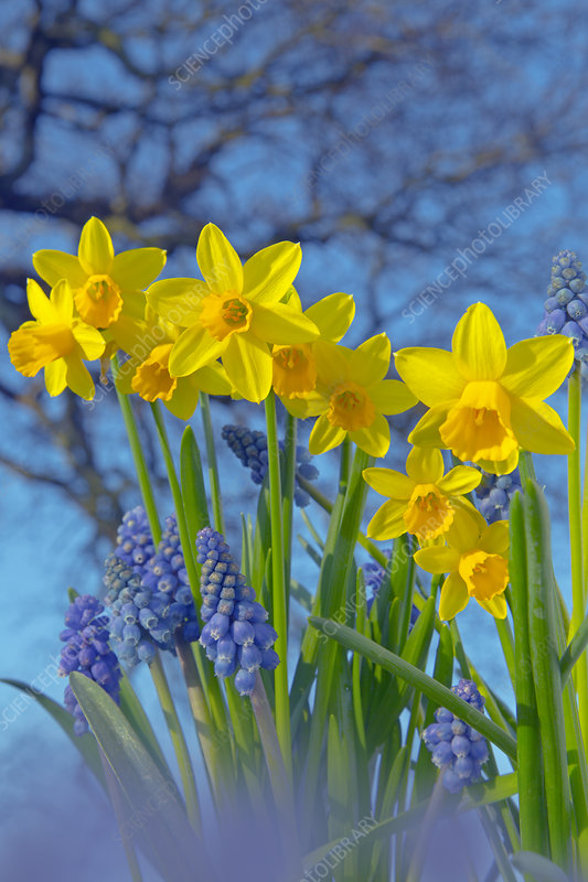 Grape hyacinths (Muscari) and Daffodils (Narcissus sp)