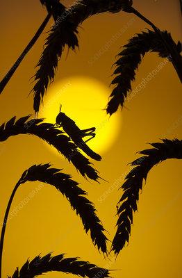 Desert locust at sunset in cereals