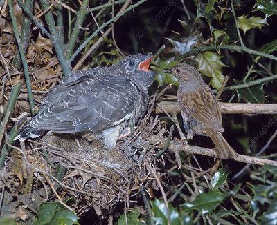 Dunnock feeding young cuckoo in nest