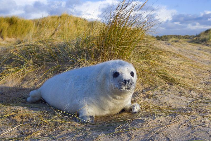 Grey seal pups on Norfolk Beach
