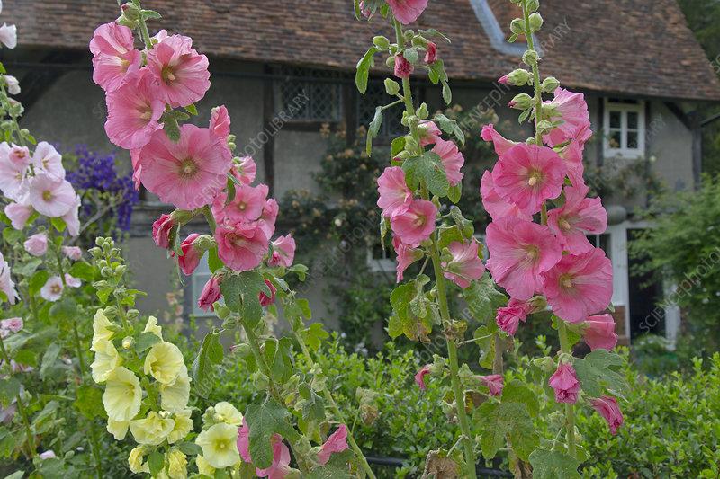 Hollyhock (Alcea) flowers