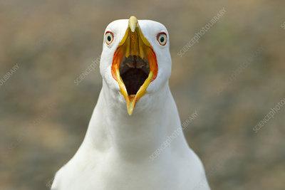 Lesser black-backed gull calling