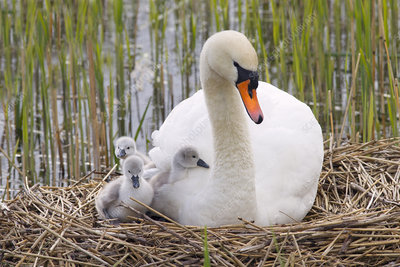 Mute swan on the nest with newly hatched cygnets, UK