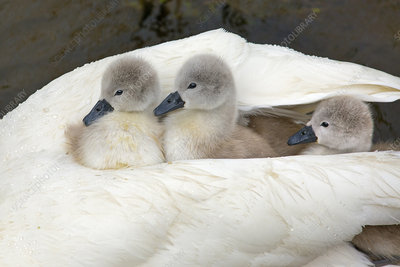 Mute swan with newly hatched cygnets under wing, UK
