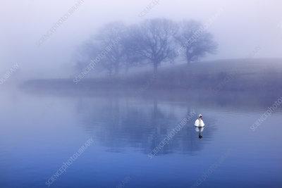 Mute swans on lake at sunrise, UK