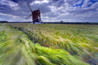 Pitstone Windmill with Barley field (Hordeum vulgare)