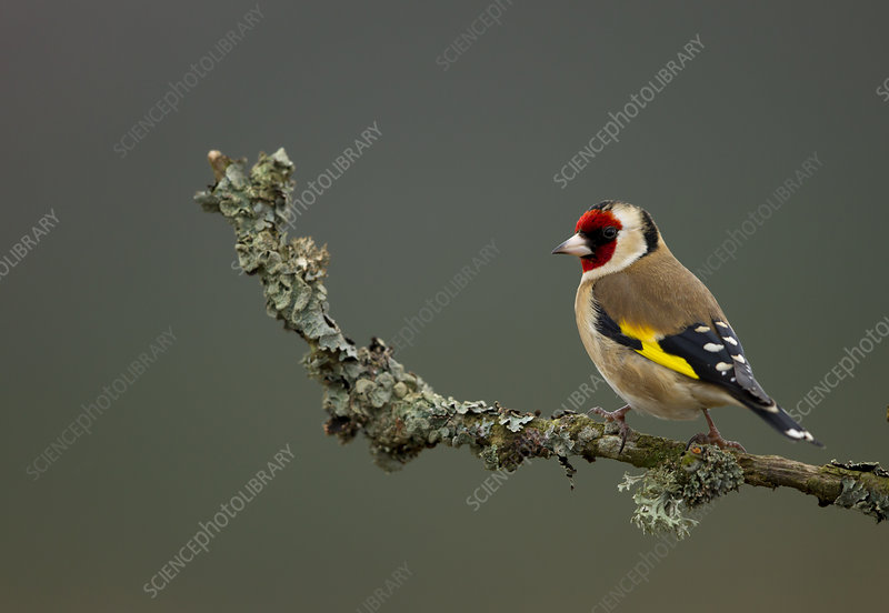 Goldfinch perched on branch, Worcestershire, UK