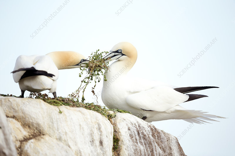 Gannets with nesting material