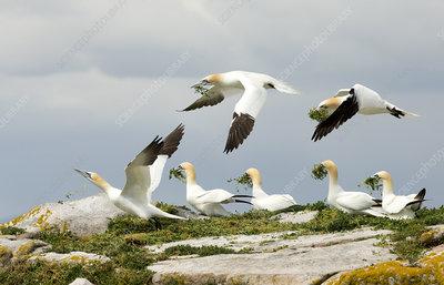Gannets gathering nesting material