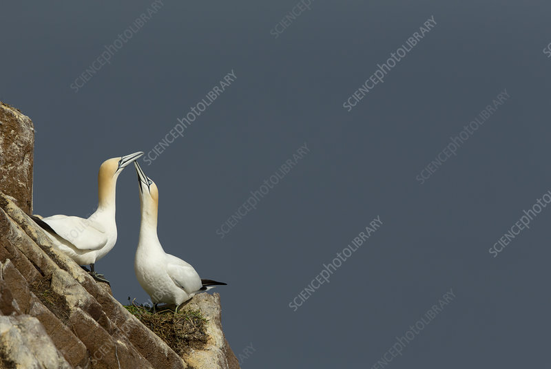 Gannets displaying, Great Saltee, County Wexford, Ireland